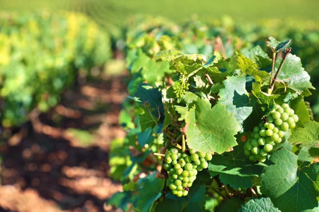 Burgundy Grapes